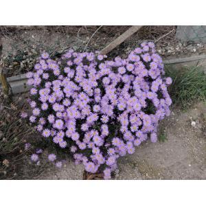 Symphyotrichum dumosum (L.) G.L.Nesom (Bushy Aster)