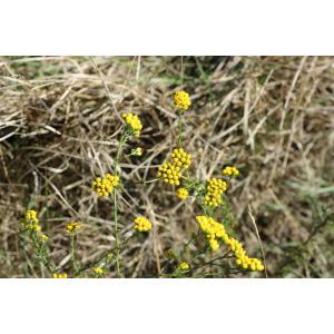 Vogtia annua (L.) Oberpr. & Sonboli [2012] (Tanaisie annuelle)