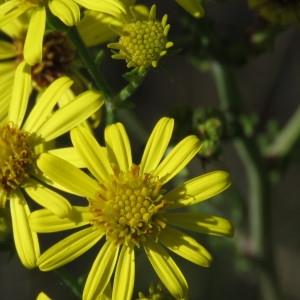 Photographie n°682255 du taxon Jacobaea erucifolia (L.) G.Gaertn., B.Mey. & Scherb. [1801]