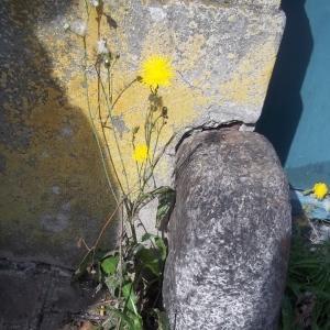 Photographie n°682265 du taxon Crépis de Nîmes