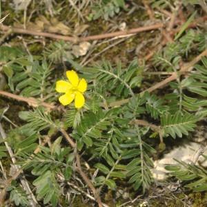 Photographie n°683073 du taxon Tribulus terrestris L. [1753]