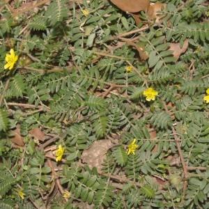 Photographie n°683085 du taxon Tribulus terrestris L. [1753]