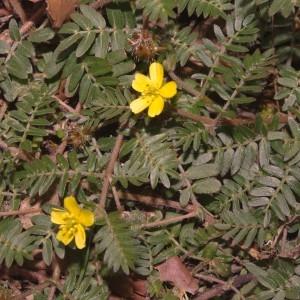 Photographie n°683087 du taxon Tribulus terrestris L. [1753]