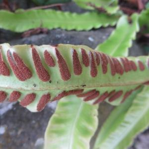 Photographie n°683170 du taxon Asplenium scolopendrium L. [1753]