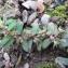 Marie-France Petibon - Euphorbia maculata L. [1753]