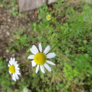Photographie n°683211 du taxon Tripleurospermum inodorum (L.) Sch.Bip. [1844]