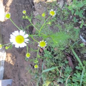 Photographie n°683212 du taxon Tripleurospermum inodorum (L.) Sch.Bip. [1844]