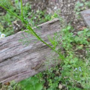 Photographie n°683213 du taxon Tripleurospermum inodorum (L.) Sch.Bip. [1844]
