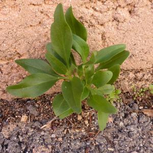 Photographie n°683452 du taxon Centranthus ruber (L.) DC. [1805]