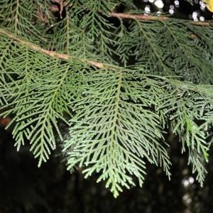 Photographie n°683456 du taxon Chamaecyparis obtusa (Siebold & Zucc.) Endl.
