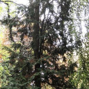 Photographie n°683457 du taxon Chamaecyparis obtusa (Siebold & Zucc.) Endl.