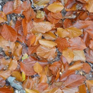 Photographie n°683750 du taxon Fagus sylvatica L.