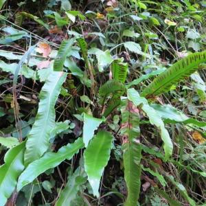 Photographie n°683777 du taxon Asplenium scolopendrium L. [1753]