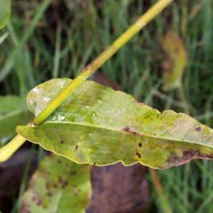 Photographie n°684392 du taxon Polygonum bistorta L.