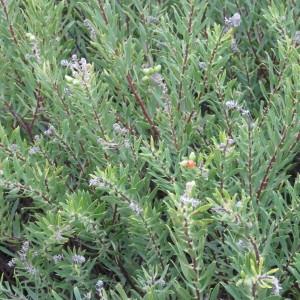 Photographie n°684449 du taxon Daphne gnidium L. [1753]