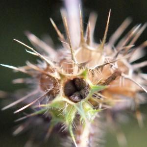 Photographie n°684476 du taxon Galeopsis tetrahit L.