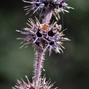 Photographie n°684477 du taxon Galeopsis tetrahit L.