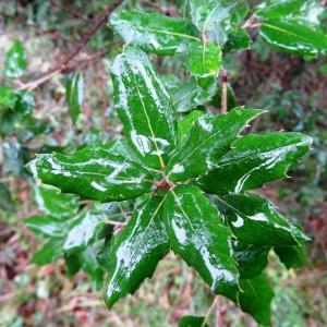 Photographie n°684725 du taxon Quercus ithaburensis subsp. macrolepis (Kotschy) Hedge & Yalt. [1981]