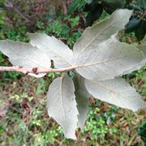 Photographie n°684727 du taxon Quercus ithaburensis subsp. macrolepis (Kotschy) Hedge & Yalt. [1981]