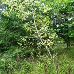 Photographie n°684762 du taxon Acer negundo subsp. negundo