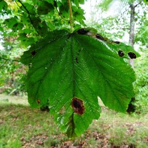 Photographie n°684779 du taxon Acer opalus Mill.