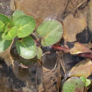 Photographie n°685479 du taxon Veronica beccabunga L.