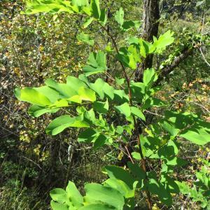 Photographie n°685645 du taxon Robinia pseudoacacia L.