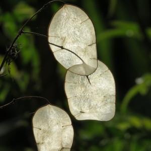 Photographie n°685972 du taxon Lunaria annua L.
