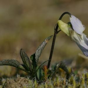 Photographie n°685994 du taxon Viola lactea Sm. [1798]