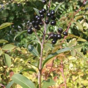 Photographie n°686057 du taxon Ligustrum vulgare L. [1753]