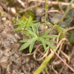 Photographie n°686269 du taxon Geranium columbinum L.