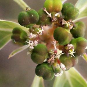 Euphorbia davidii R.Subils