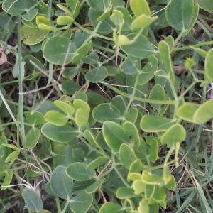 Photographie n°686482 du taxon Zygophyllum fabago L. [1753]