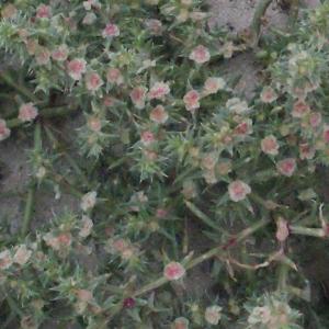 Photographie n°686718 du taxon Salsola kali L. [1753]