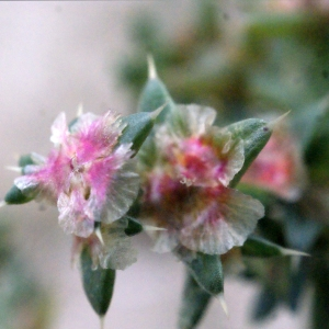 Photographie n°686730 du taxon Salsola kali L. [1753]