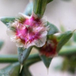 Photographie n°686733 du taxon Salsola kali L. [1753]