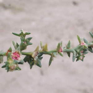 Photographie n°686739 du taxon Salsola kali L. [1753]