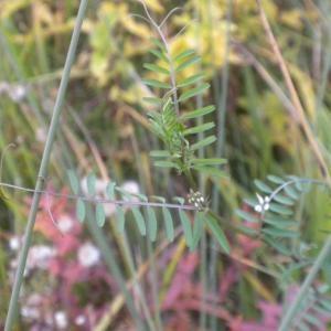 Photographie n°686900 du taxon Ervilia hirsuta (L.) Opiz [1852]