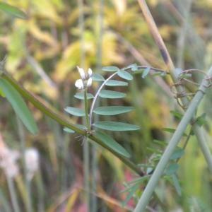Photographie n°686901 du taxon Ervilia hirsuta (L.) Opiz [1852]