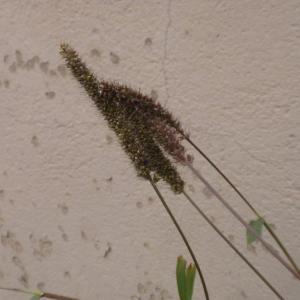 Photographie n°686954 du taxon Setaria verticillata (L.) P.Beauv. [1812]