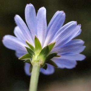 Photographie n°686983 du taxon Cichorium intybus L. [1753]