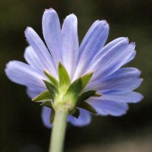 Photographie n°686984 du taxon Cichorium intybus L. [1753]