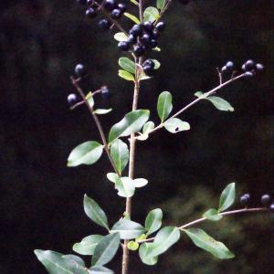Photographie n°687080 du taxon Ligustrum vulgare L. [1753]