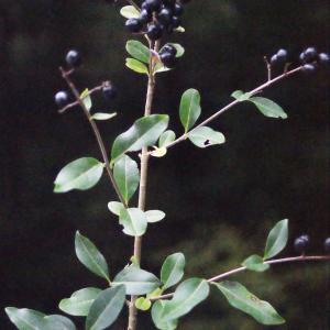 Photographie n°687081 du taxon Ligustrum vulgare L. [1753]