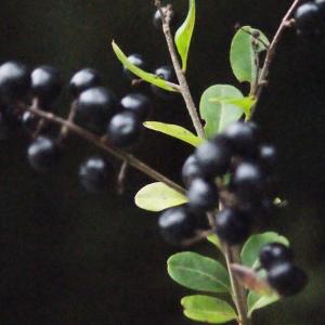Photographie n°687084 du taxon Ligustrum vulgare L. [1753]