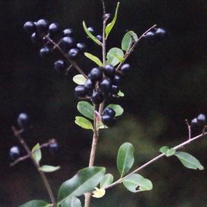 Photographie n°687085 du taxon Ligustrum vulgare L. [1753]