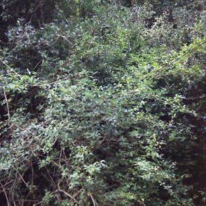 Photographie n°687086 du taxon Ligustrum vulgare L. [1753]