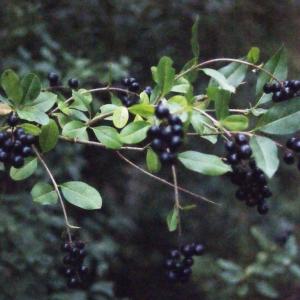 Photographie n°687087 du taxon Ligustrum vulgare L. [1753]