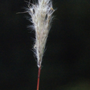 Photographie n°687095 du taxon Bothriochloa barbinodis (Lag.) Herter [1940]