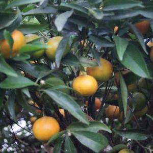 - Citrus aurantium var. sinensis L. [1753]